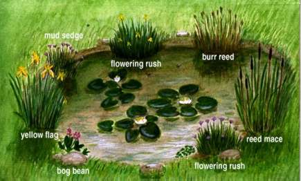 So you want a wildlife pond for Recommended pond plants